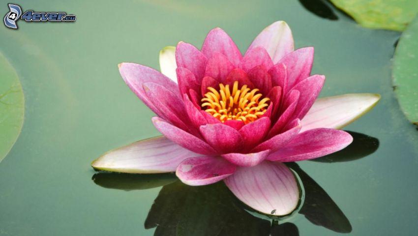 Lotosblume, rosa Blume