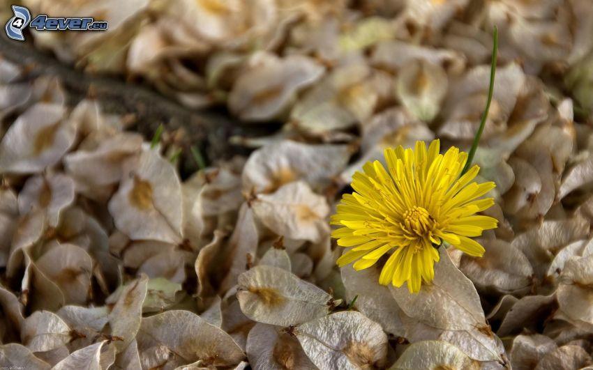 Löwenzahn, gelbe Blume, trockene Blätter