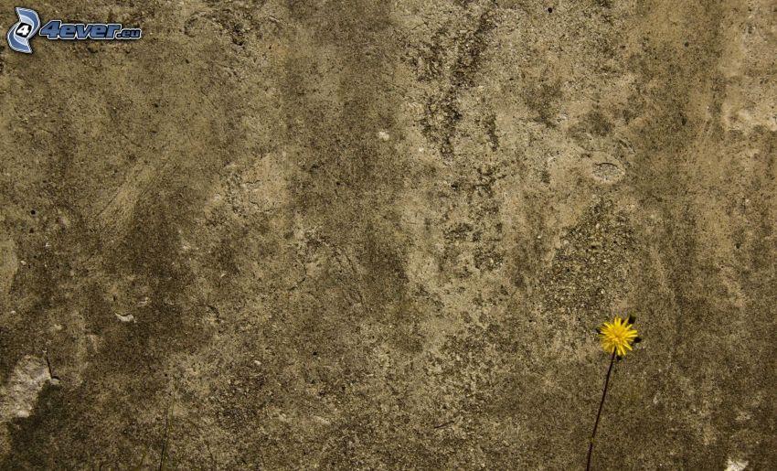 Löwenzahn, Steinmauer