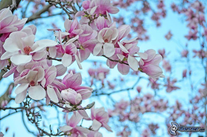 Magnolie, weiße Blumen