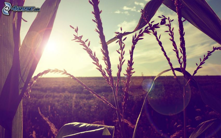 Maisfeld, Blätter, Sonne