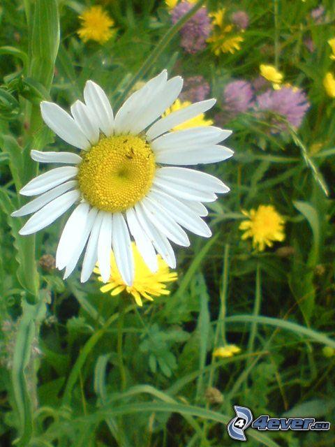 Margerite, Blumen, Gras