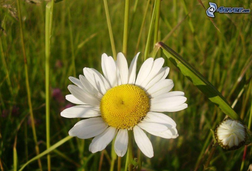 Margerite, Gras