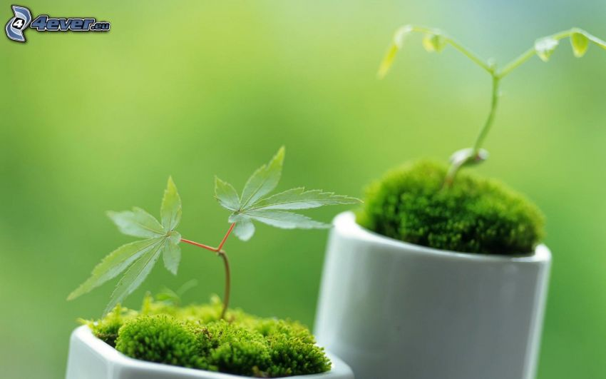 Marihuana, Pflanzen