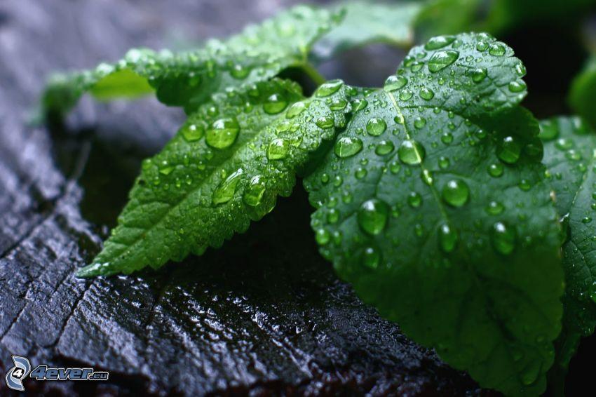 Minze, Tau bedeckten Blätter