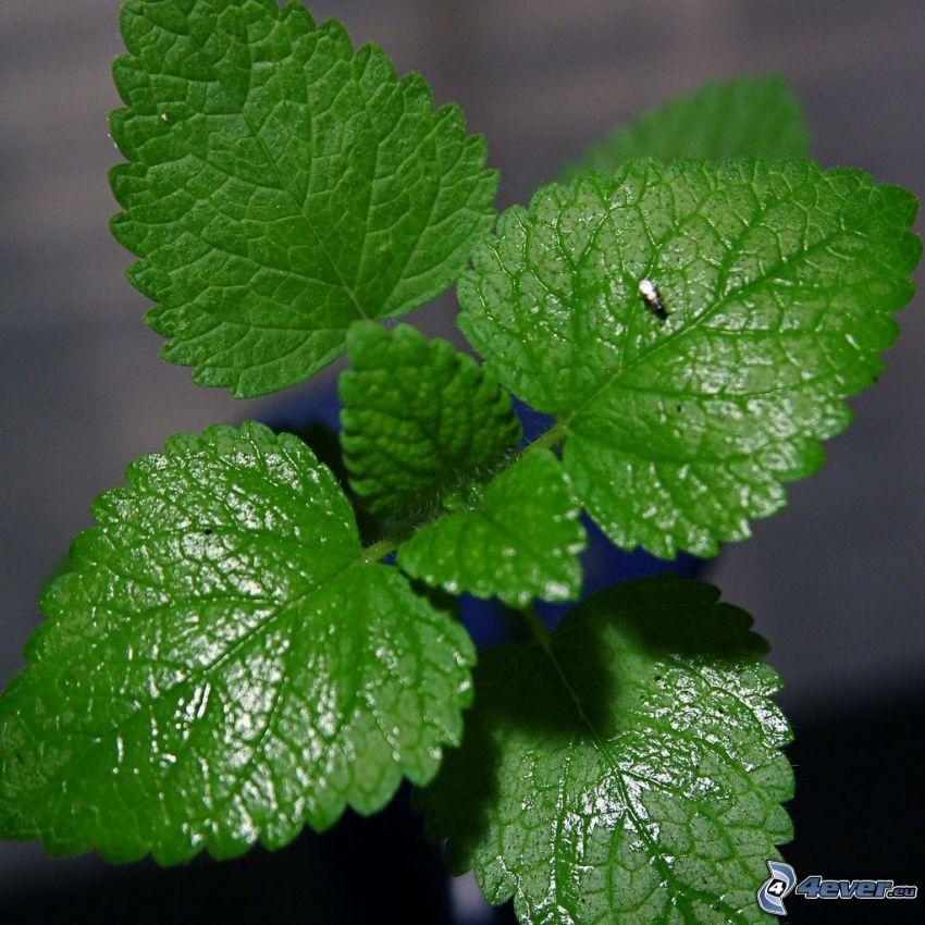 Minze Blätter