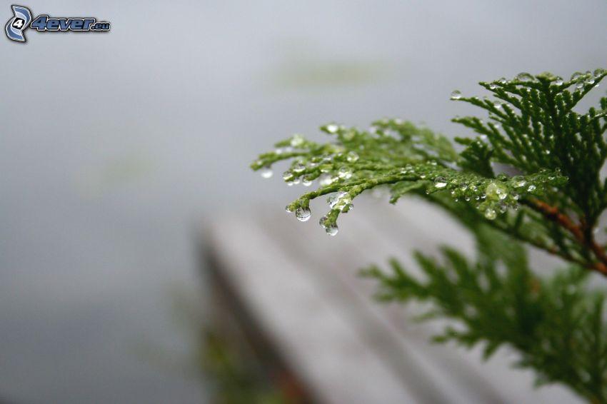 Nadelästchen, Zweig, Wassertropfen