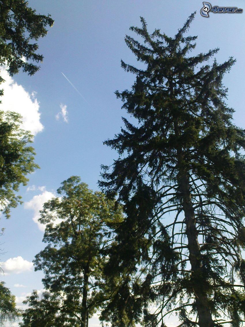 Nadelbäume, Himmel