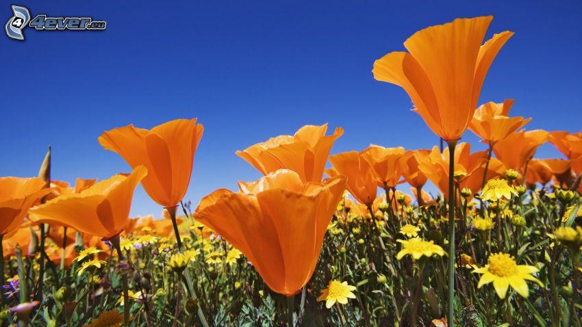orange Blumen, Feldblumen