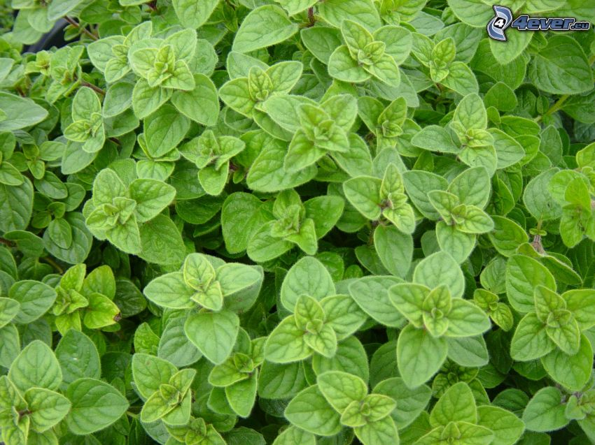 Origanum vulgare, grüne Blätter