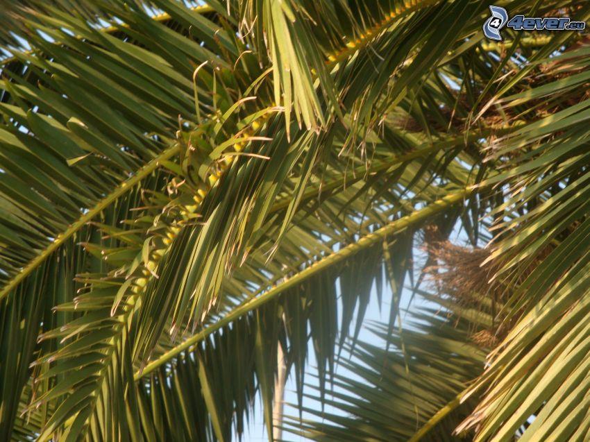 Palme, Blätter
