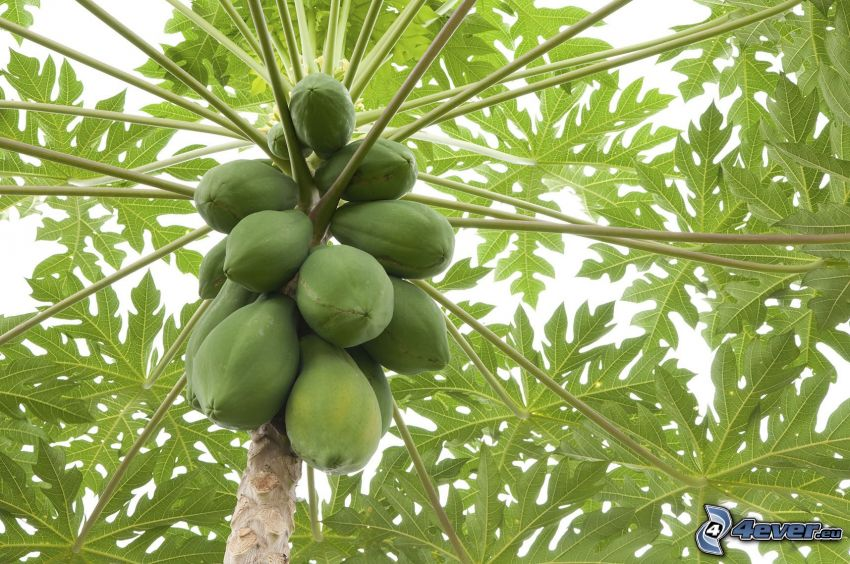 Papaya, grüne Blätter