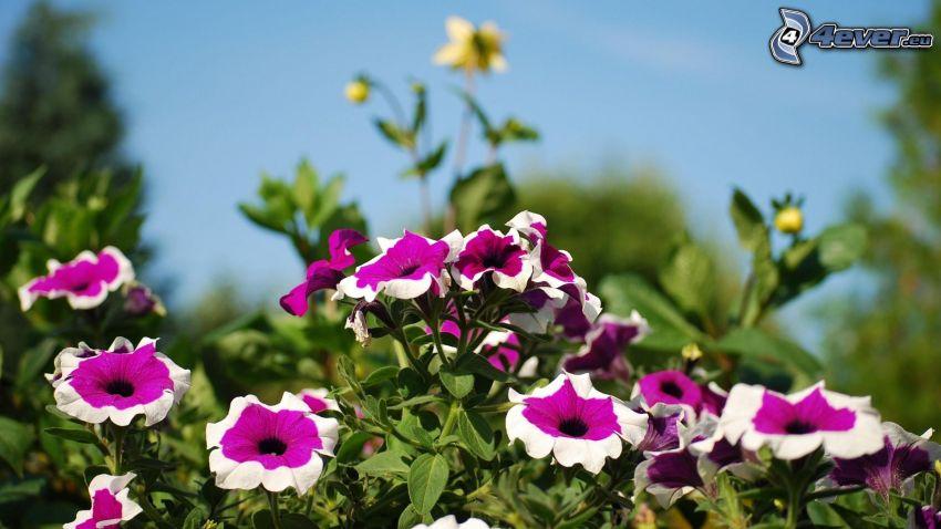 Petunie, lila Blumen