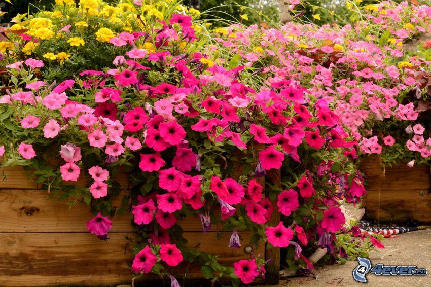 Petunie, rosa Blumen