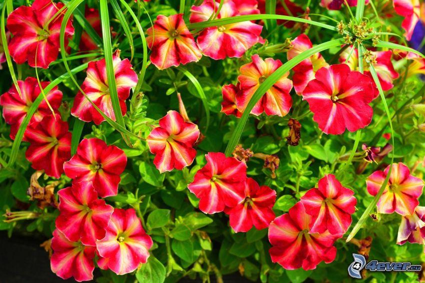 Petunie, roten Blumen