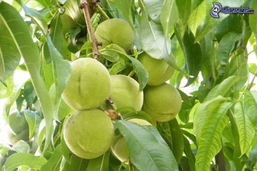 Pfirsiche, Baum, grüne Blätter