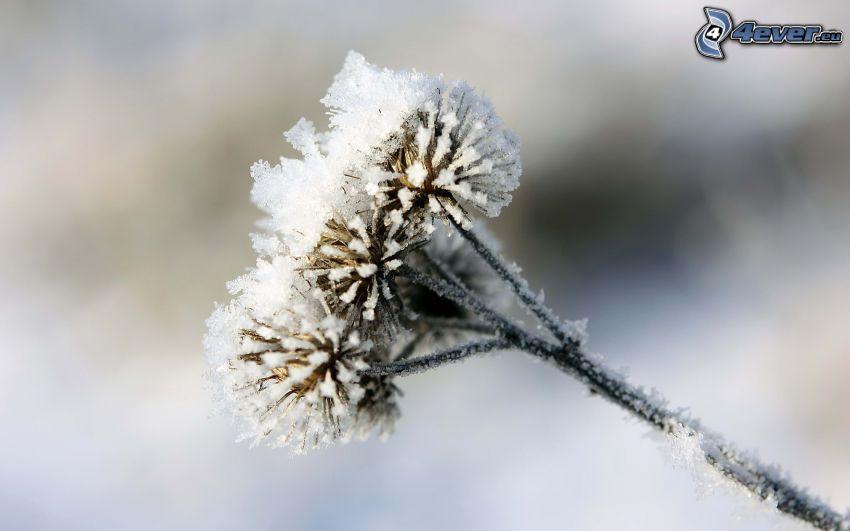 Pflanze, gefroren