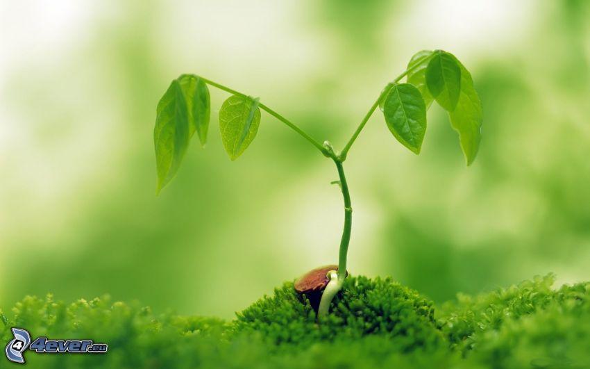 Pflanze, Moos
