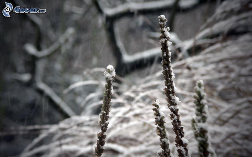 Pflanzen, Schnee, schwarzweiß