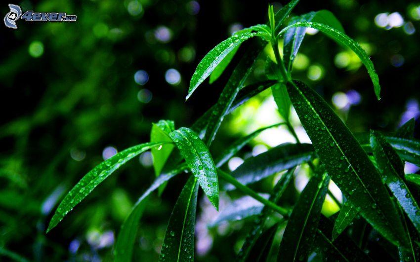 Pflanzen, Tau bedeckten Blätter