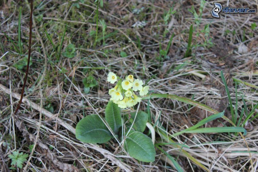 Primel, gelbe Blumen, Tannennadeln