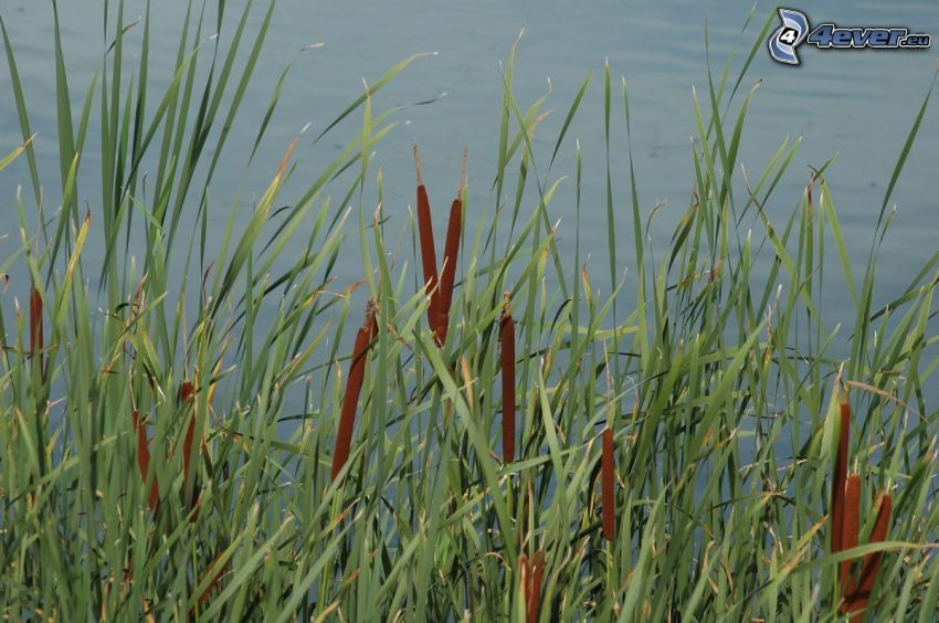 Rohrkolbengewächse, hohes Gras