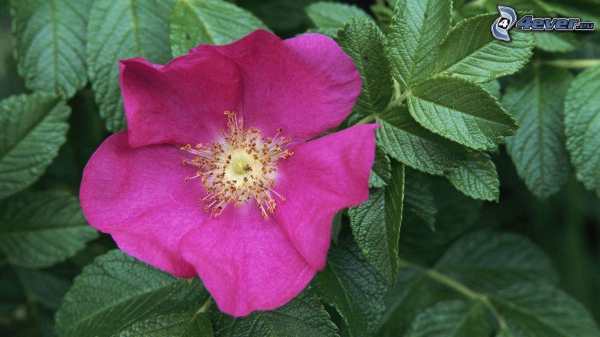 rosa Blume, Blätter