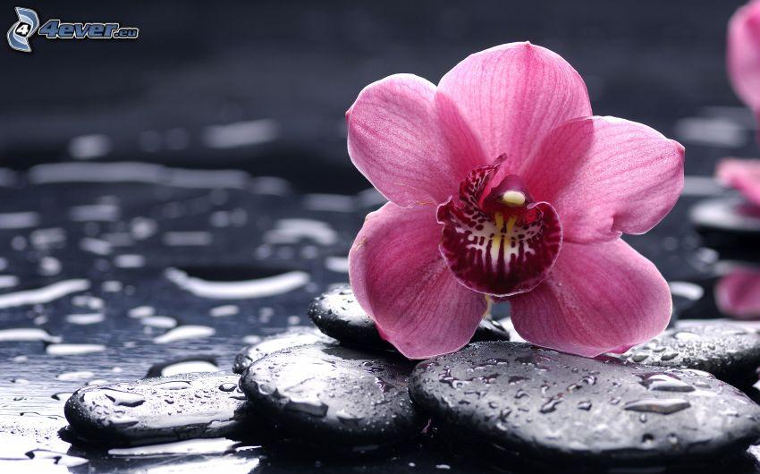 rosa Blume, Steine, Wassertropfen