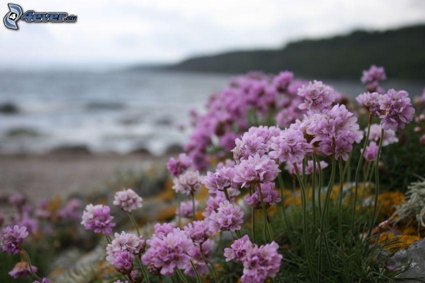 rosa Blumen, Meer