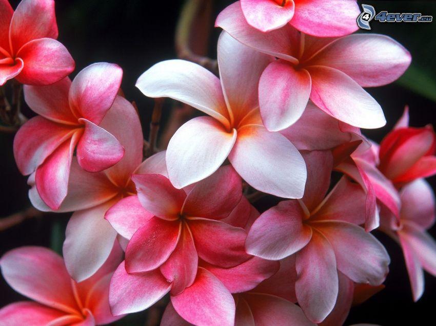 rosa Blumen