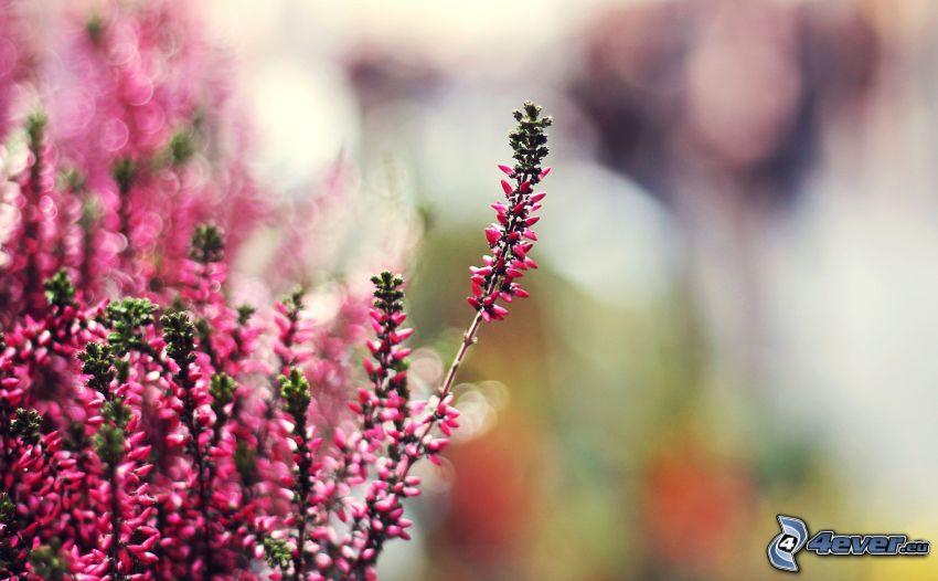 rosa Planzen