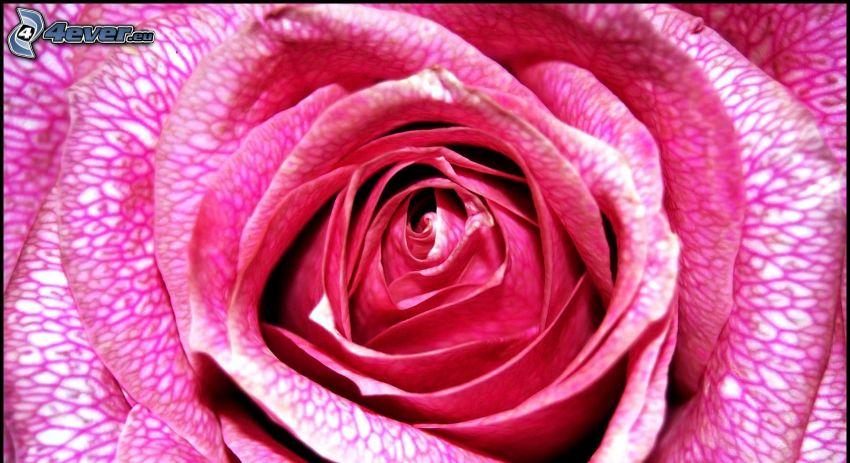 rosa Rose, Makro