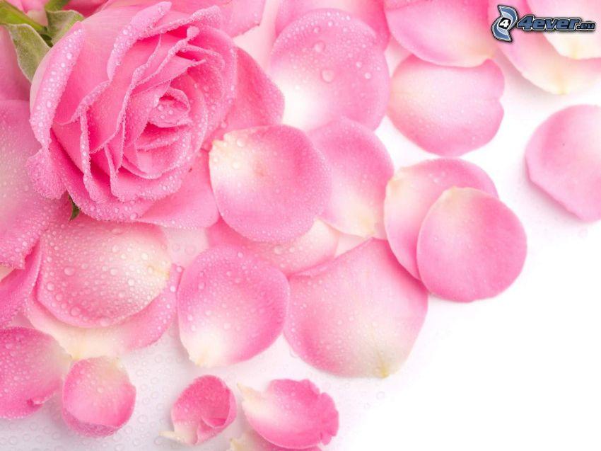 rosa Rose, Tautropfen