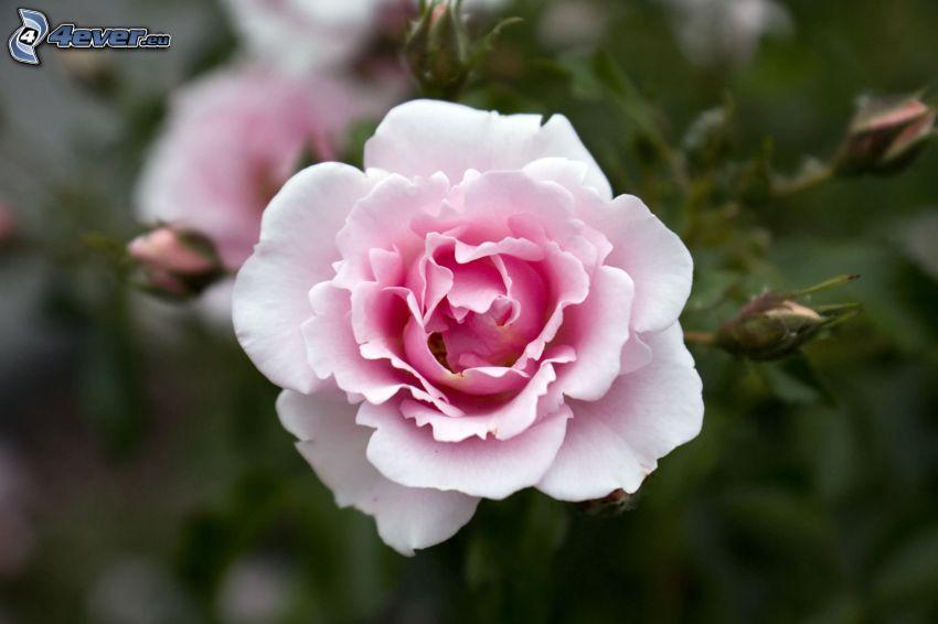 rosa Rose