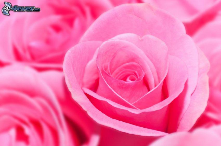 rosa Rosen