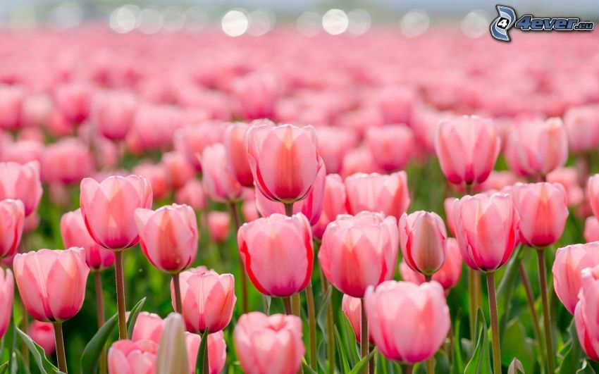 rosa Tulpen, Feld