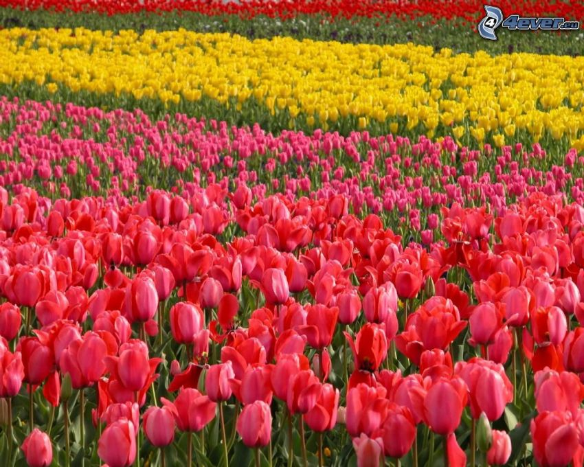 rosa Tulpen, gelbe Tulpen, rote Tulpen, Feld