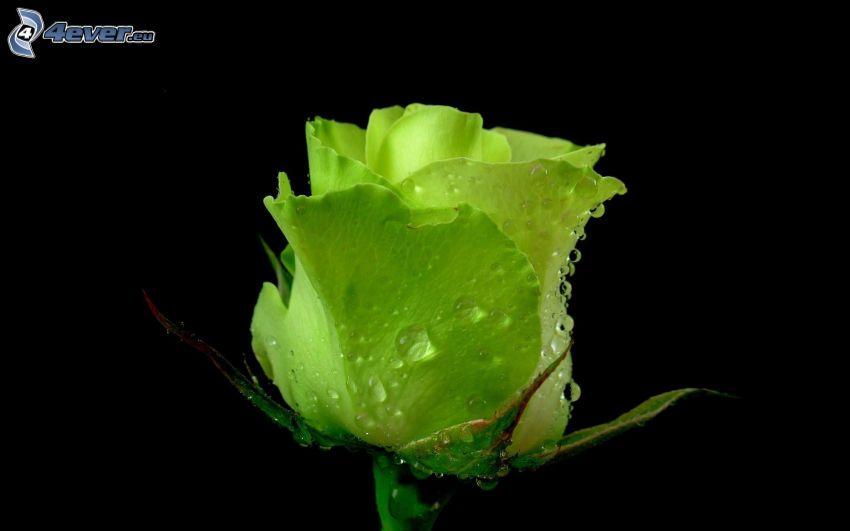Rose, grün