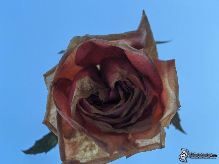 Rose, trockene Blume, schwarze Blume