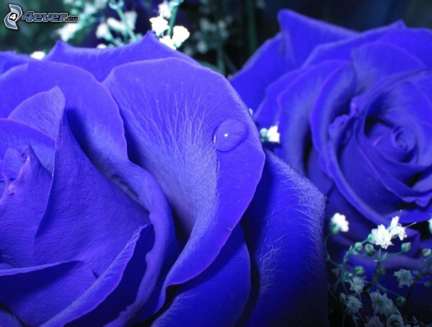 Rosen, blaue Blumen