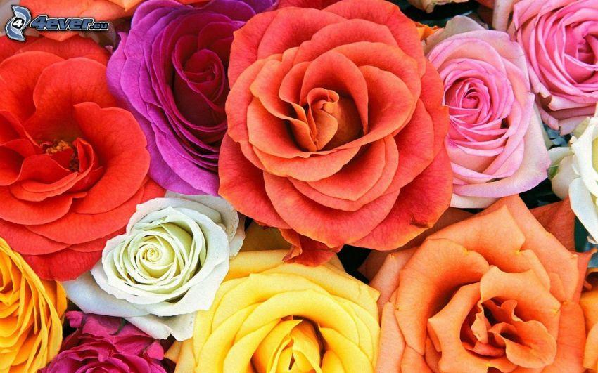 Rosen, bunte Blumen
