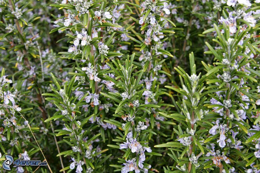 Rosmarin, lila Blumen