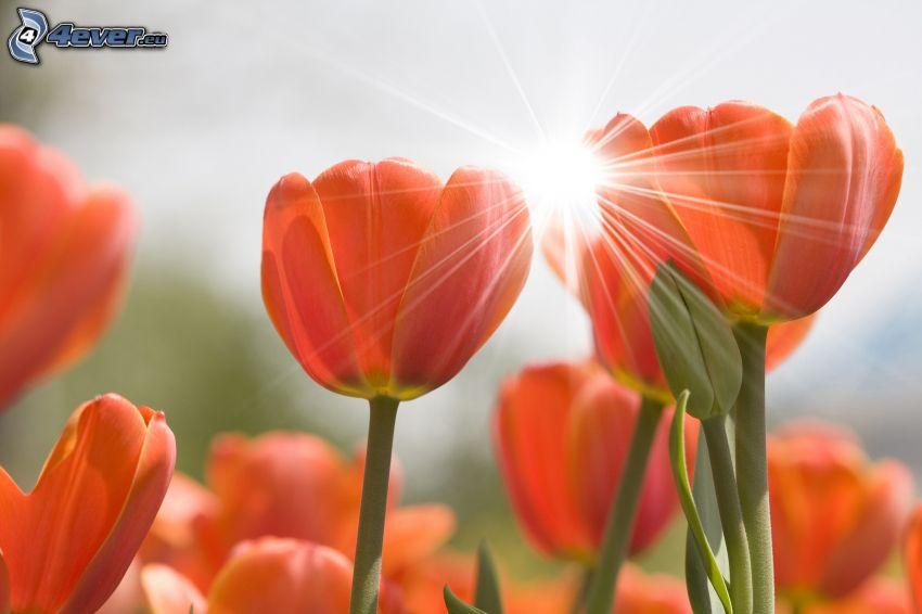 rote Tulpen, Sonne