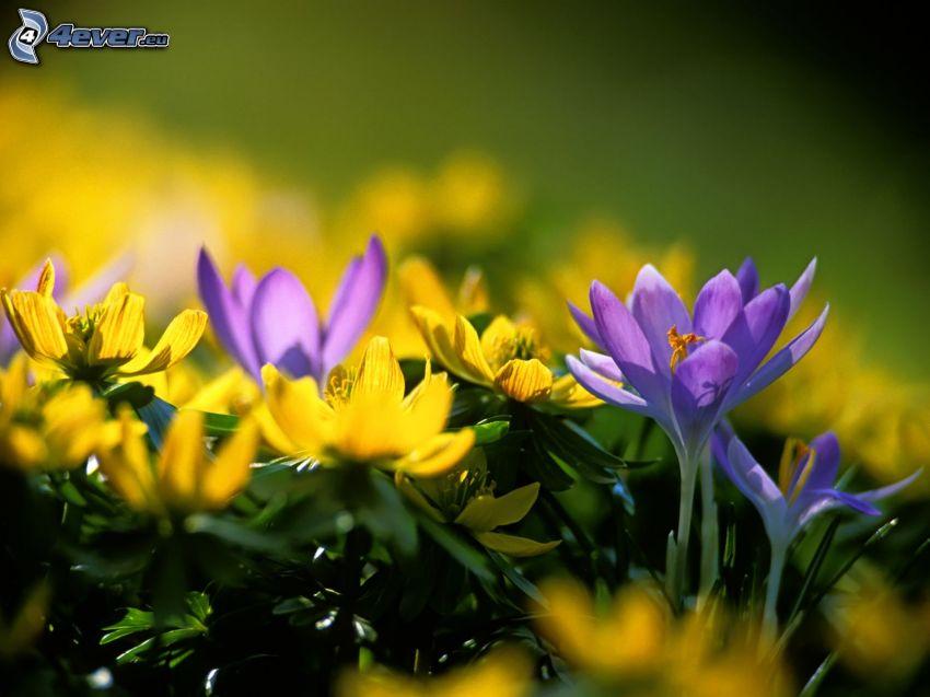 Saffrons, gelbe Blumen