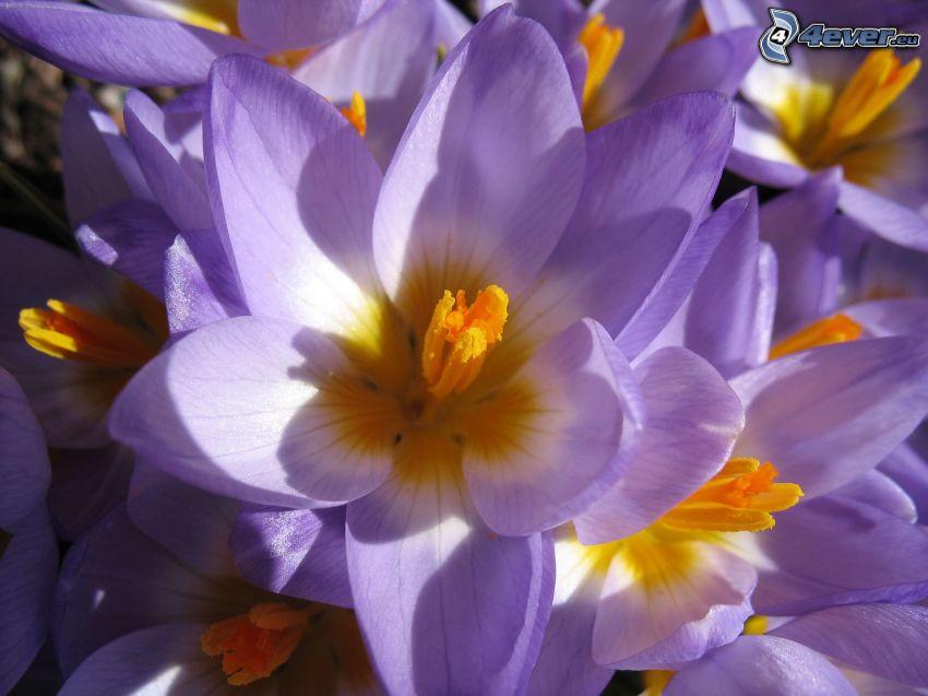 Saffrons, Krokusse