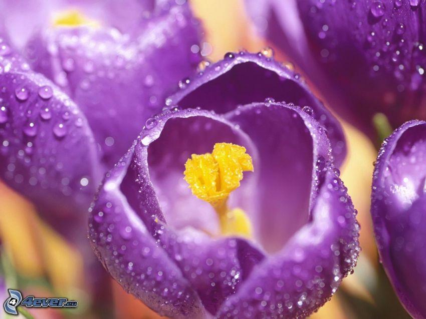 Saffrons, lila Blumen, taufrischer Blume