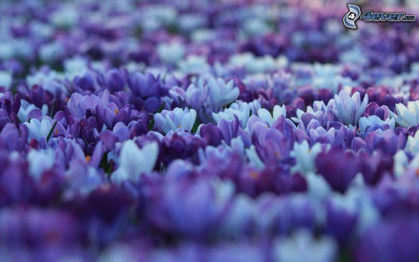 Saffrons, lila Blumen