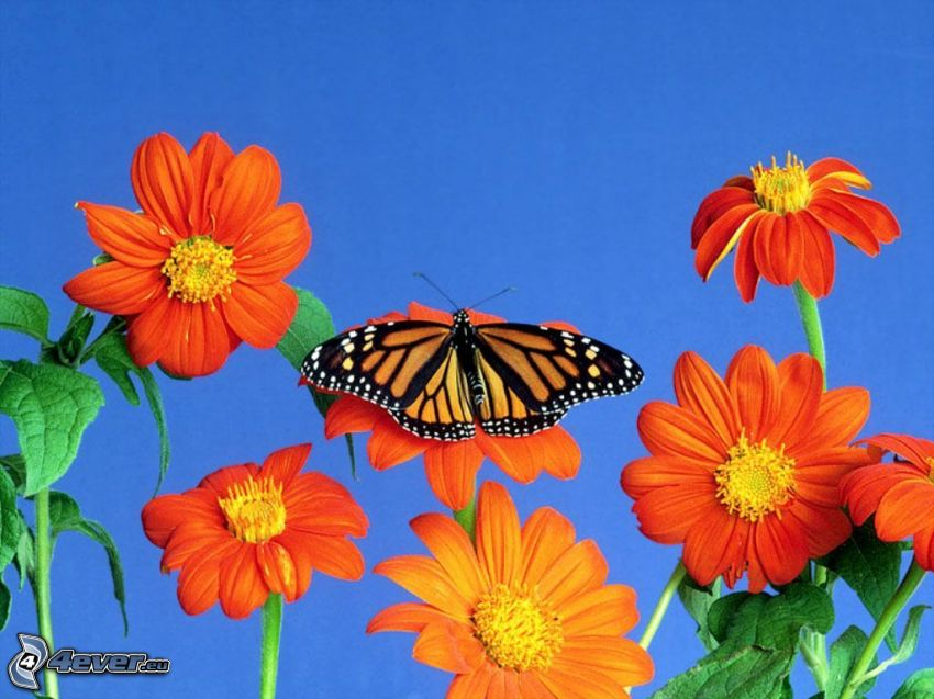 Schmetterling, Blumen