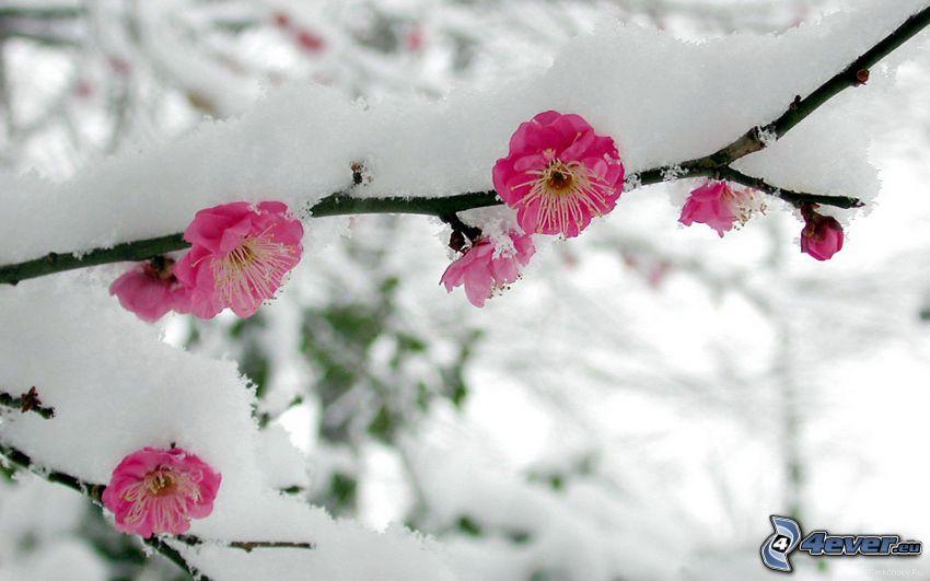 schneebedeckten Zweig, rosa Blumen