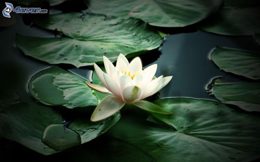 Seerose, Blätter, Wasser
